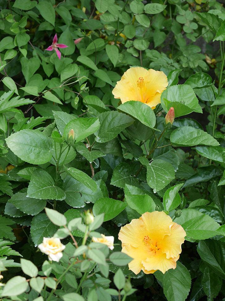 サマーブリーズ カシミアウィンドの花が2個咲いた。2020年-006.jpg