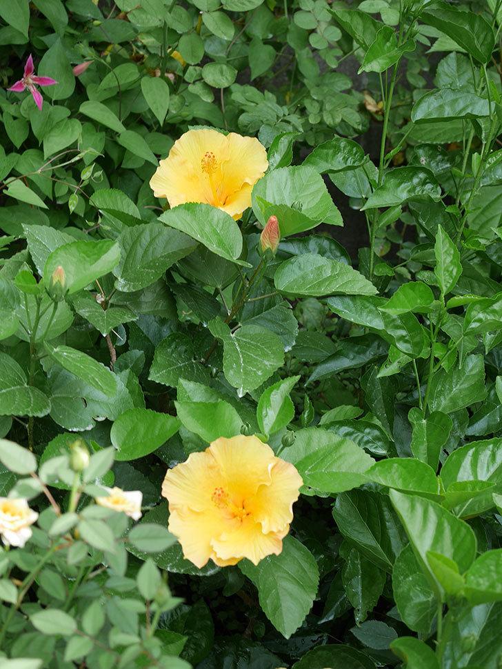 サマーブリーズ カシミアウィンドの花が2個咲いた。2020年-007.jpg