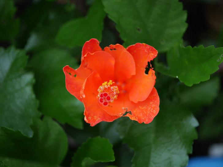 サマーブリーズ カロライナブリーズの花が1個咲いた。2020年-002.jpg