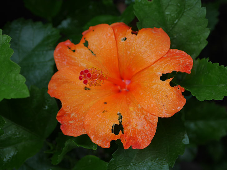 サマーブリーズ カロライナブリーズの花が1個咲いた。2020年-004.jpg