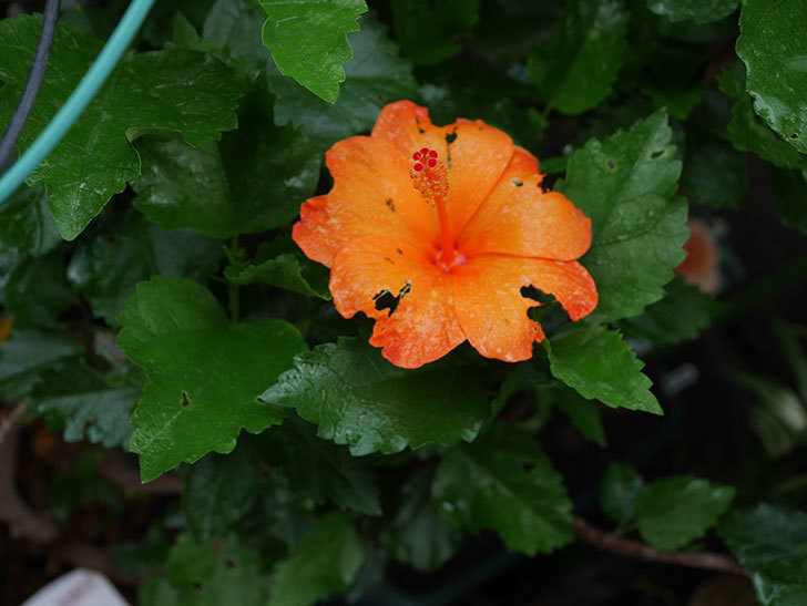 サマーブリーズ カロライナブリーズの花が1個咲いた。2020年-006.jpg