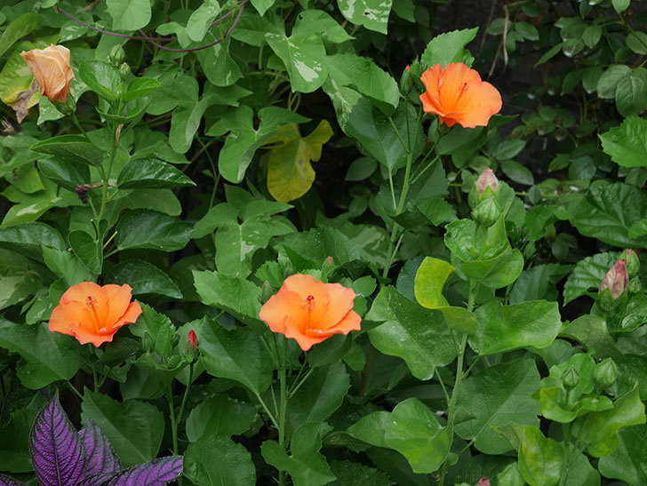 サマーブリーズ カロライナブリーズの花が3個咲いた。2020年-001.jpg