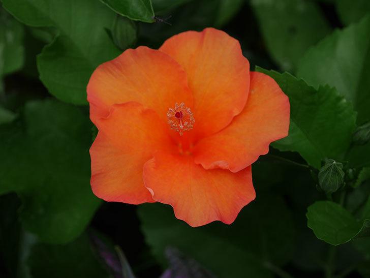 サマーブリーズ カロライナブリーズの花が3個咲いた。2020年-004.jpg