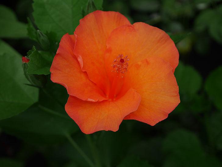 サマーブリーズ カロライナブリーズの花が3個咲いた。2020年-006.jpg