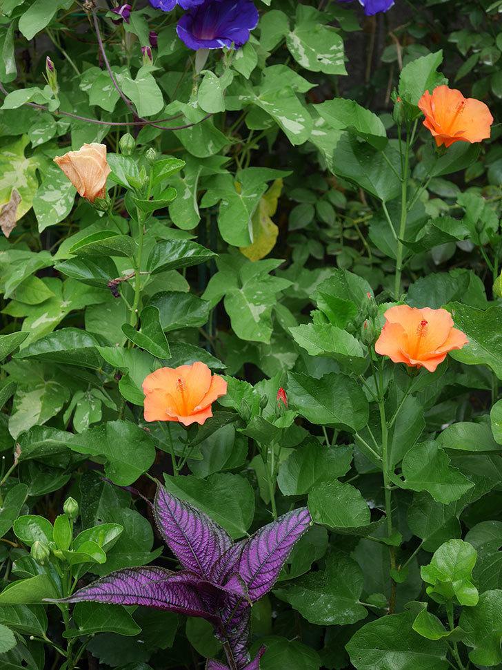 サマーブリーズ カロライナブリーズの花が3個咲いた。2020年-007.jpg