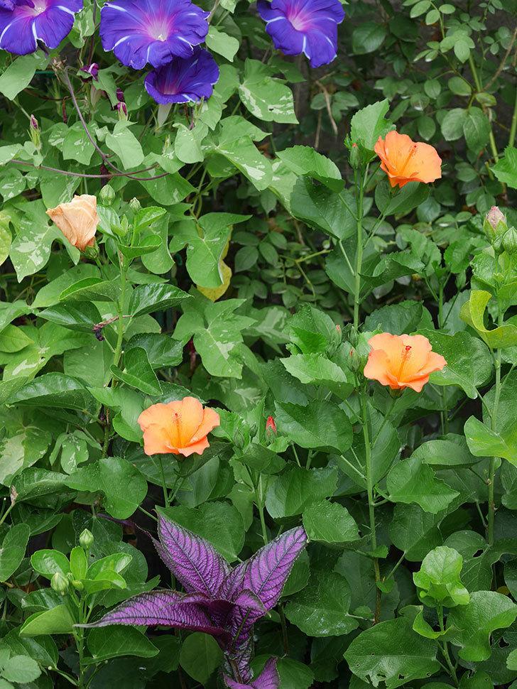 サマーブリーズ カロライナブリーズの花が3個咲いた。2020年-008.jpg