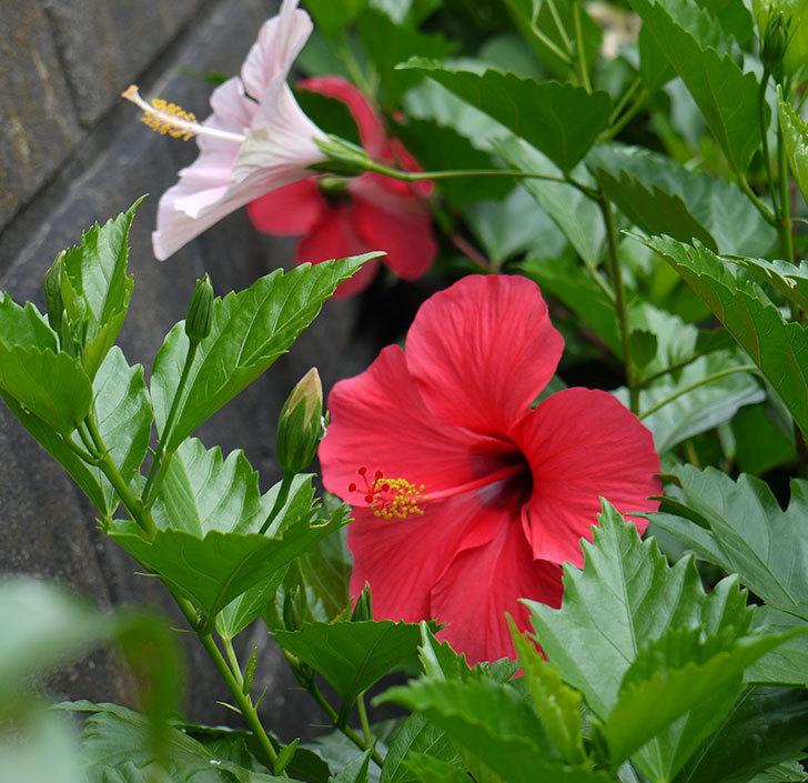 サマーブリーズに今年最初の花が咲いた。2017年-11.jpg