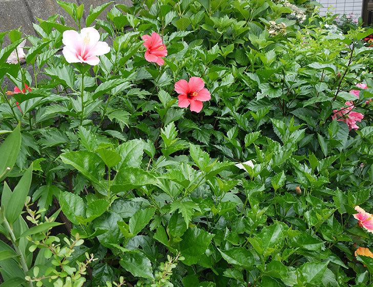 サマーブリーズに今年最初の花が咲いた。2017年-12.jpg