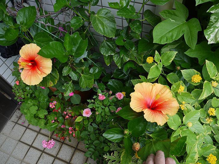 サマーブリーズに今年最初の花が咲いた。2017年-13.jpg