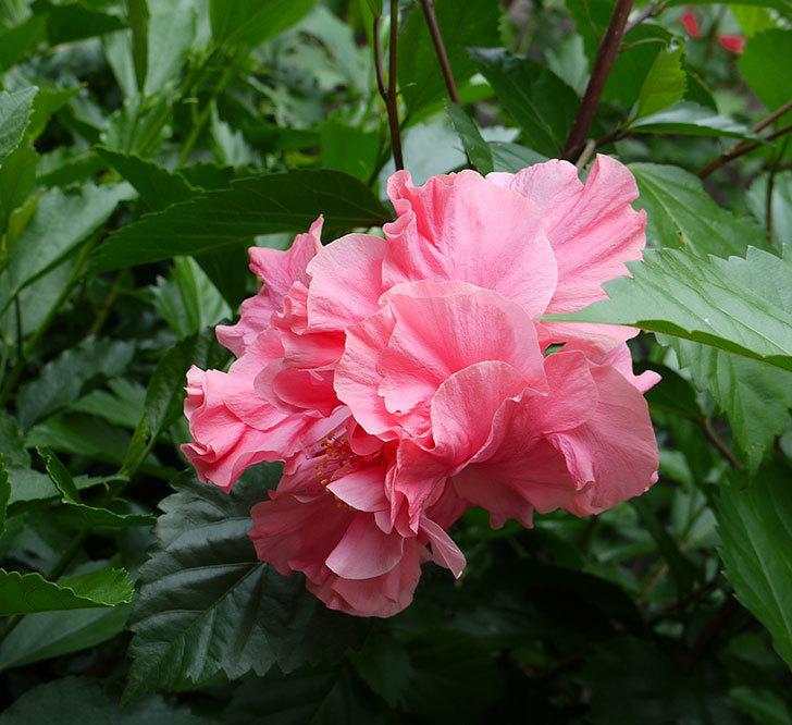 サマーブリーズに今年最初の花が咲いた。2017年-5.jpg