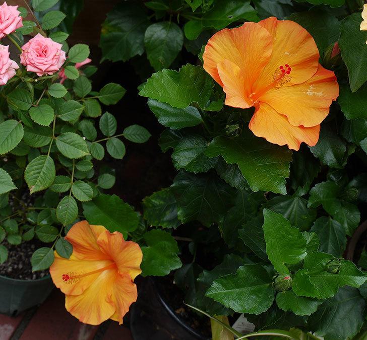 サマーブリーズに今年最初の花が咲いた。2017年-6.jpg
