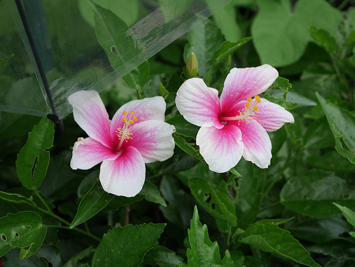 サマーブリーズの花が2個咲いた。2019年-2.jpg
