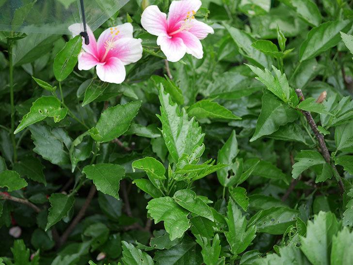 サマーブリーズの花が2個咲いた。2019年-3.jpg