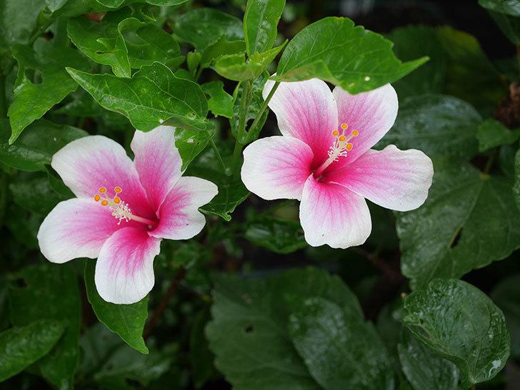 サマーブリーズの花が2個咲いた。2020年-003.jpg