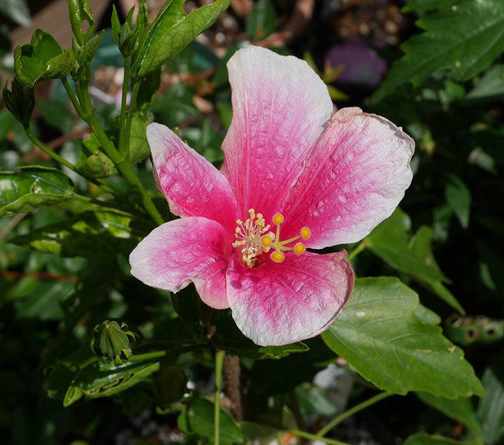 サマーブリーズの花がまた咲いた。2018年-1.jpg