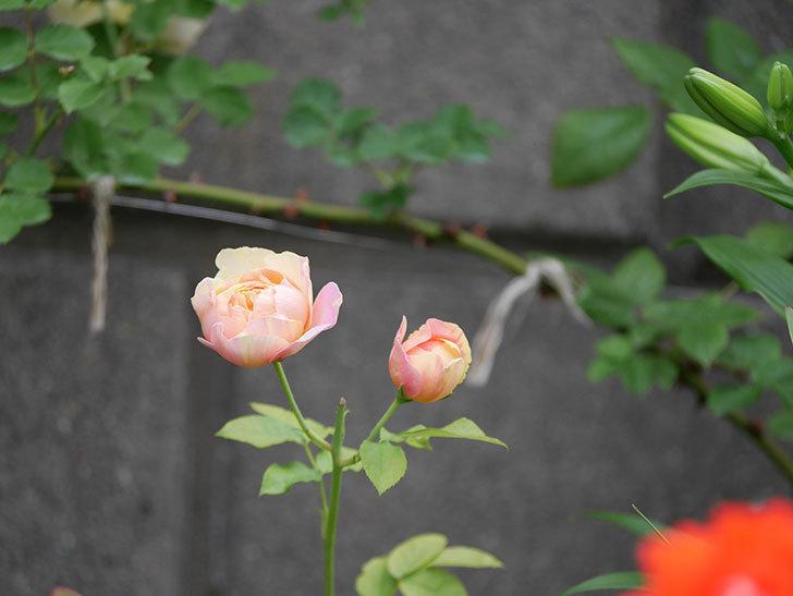 サムズ・アップ(Thumbs Up)にピンクが目立つ花が咲いた。半ツルバラ。2020年-001.jpg