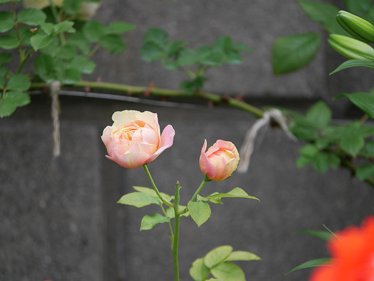 サムズ・アップ(Thumbs Up)にピンクが目立つ花が咲いた。半ツルバラ。2020年-002.jpg