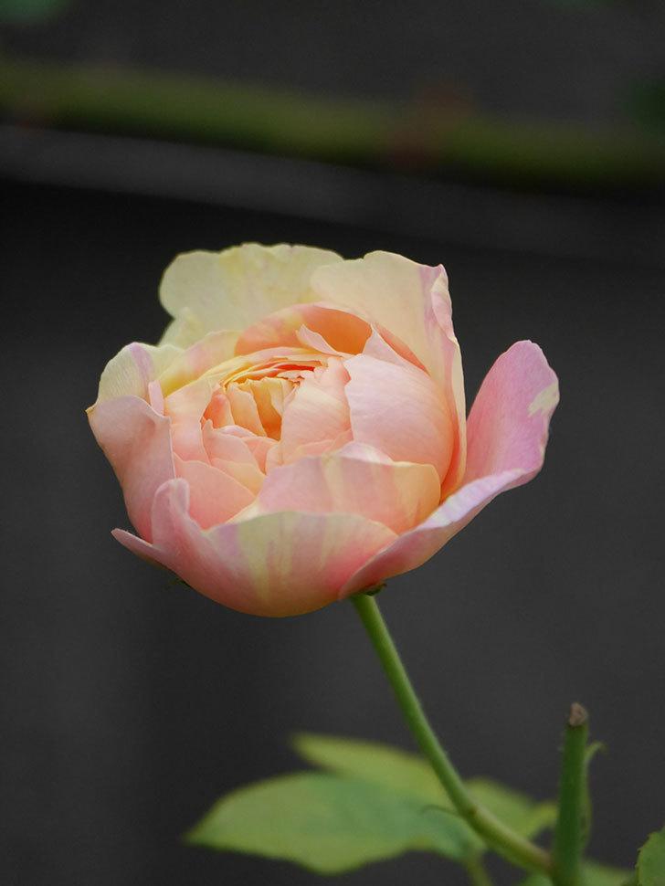 サムズ・アップ(Thumbs Up)にピンクが目立つ花が咲いた。半ツルバラ。2020年-003.jpg
