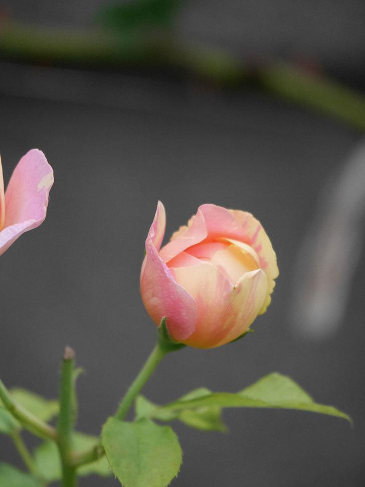 サムズ・アップ(Thumbs Up)にピンクが目立つ花が咲いた。半ツルバラ。2020年-004.jpg
