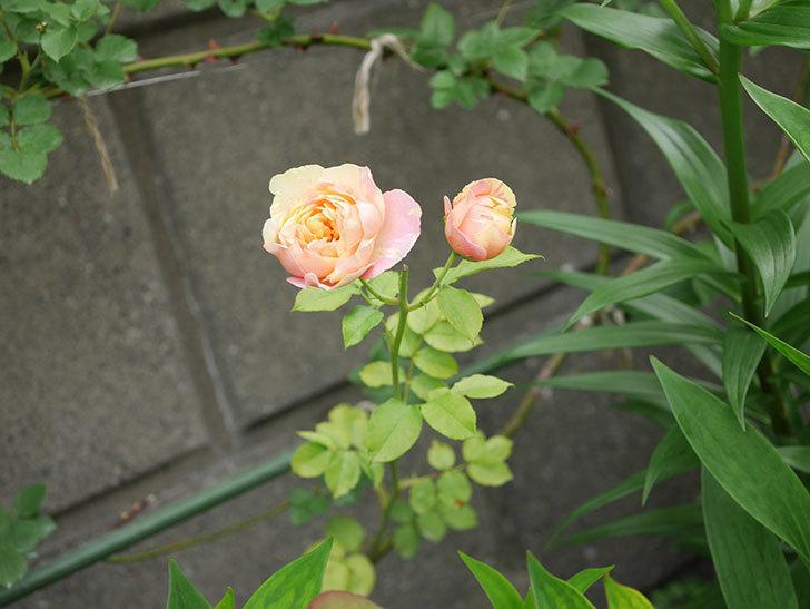 サムズ・アップ(Thumbs Up)にピンクが目立つ花が咲いた。半ツルバラ。2020年-005.jpg