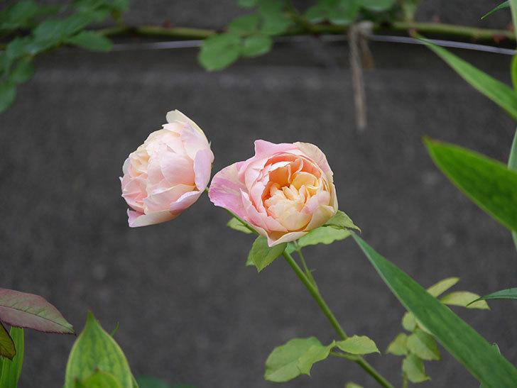 サムズ・アップ(Thumbs Up)にピンクが目立つ花が咲いた。半ツルバラ。2020年-006.jpg