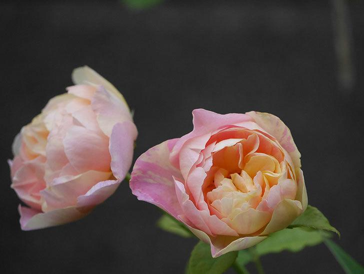 サムズ・アップ(Thumbs Up)にピンクが目立つ花が咲いた。半ツルバラ。2020年-007.jpg