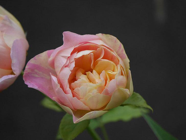サムズ・アップ(Thumbs Up)にピンクが目立つ花が咲いた。半ツルバラ。2020年-008.jpg