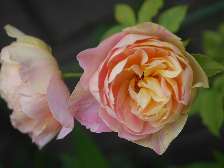 サムズ・アップ(Thumbs Up)にピンクが目立つ花が咲いた。半ツルバラ。2020年-009.jpg