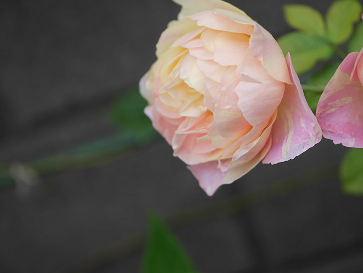 サムズ・アップ(Thumbs Up)にピンクが目立つ花が咲いた。半ツルバラ。2020年-010.jpg
