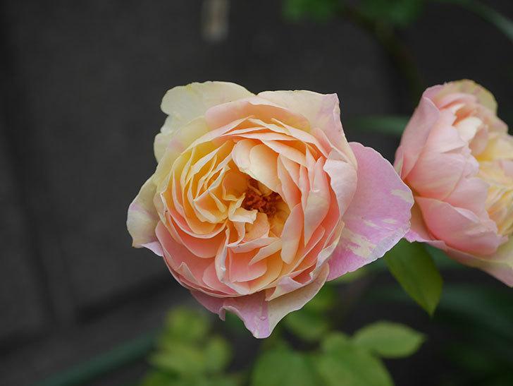 サムズ・アップ(Thumbs Up)にピンクが目立つ花が咲いた。半ツルバラ。2020年-013.jpg