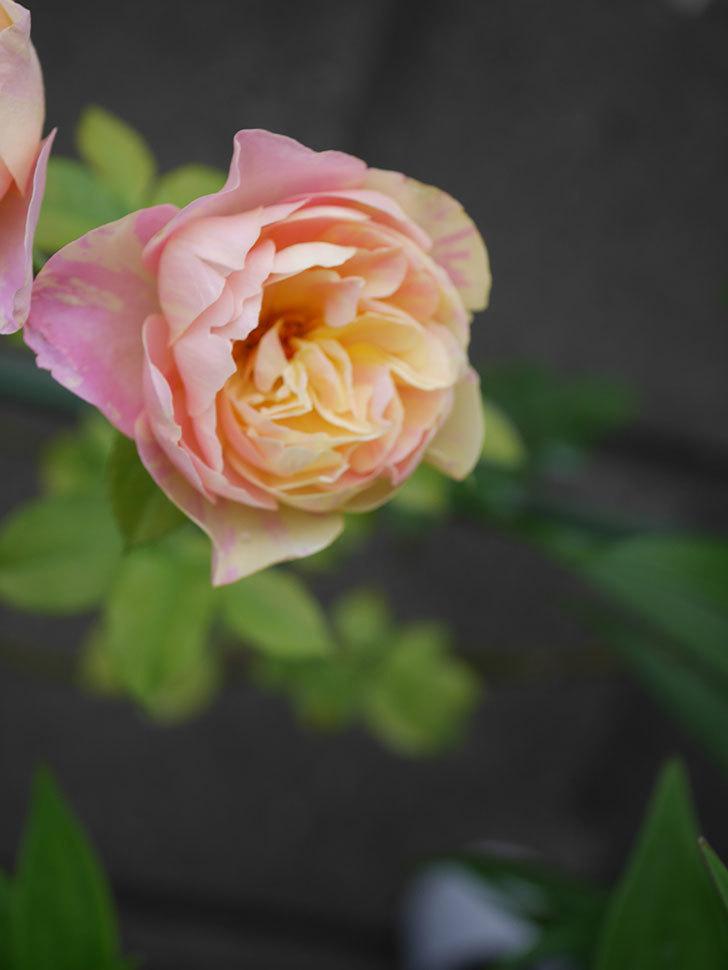サムズ・アップ(Thumbs Up)にピンクが目立つ花が咲いた。半ツルバラ。2020年-014.jpg