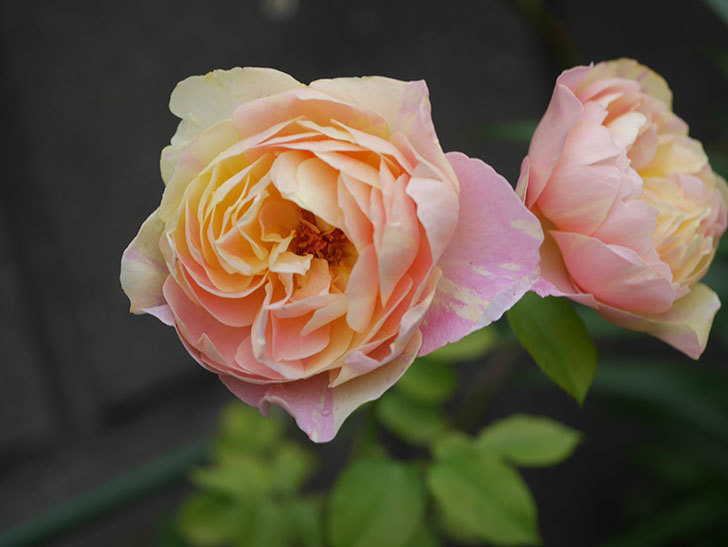 サムズ・アップ(Thumbs Up)にピンクが目立つ花が咲いた。半ツルバラ。2020年-015.jpg