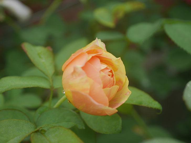 サムズ・アップ(Thumbs Up)の2番花がまた咲いた。半ツルバラ。2020年-001.jpg