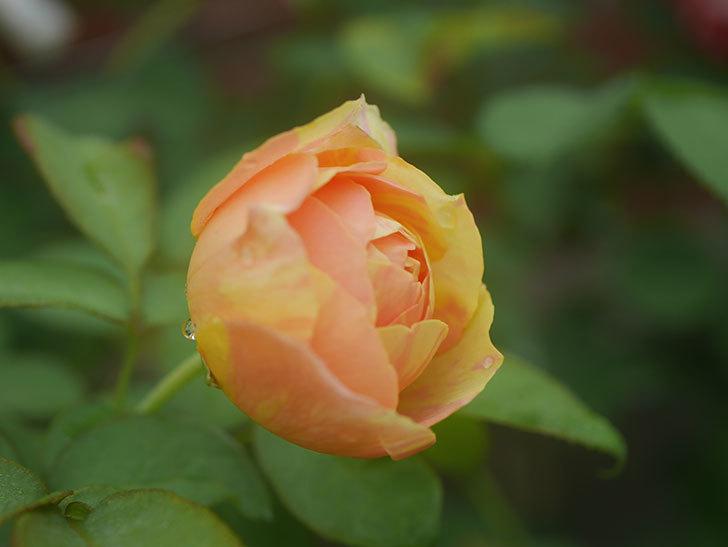 サムズ・アップ(Thumbs Up)の2番花がまた咲いた。半ツルバラ。2020年-002.jpg