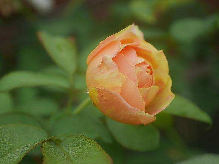 サムズ・アップ(Thumbs Up)の2番花がまた咲いた。半ツルバラ。2020年-003.jpg