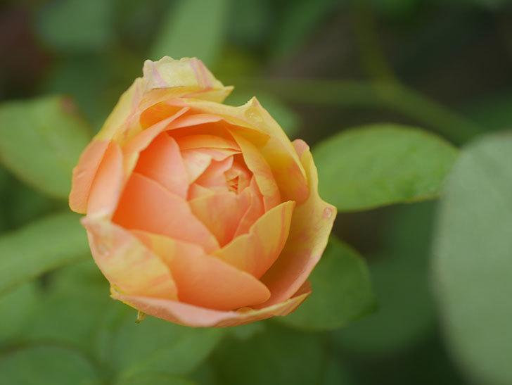 サムズ・アップ(Thumbs Up)の2番花がまた咲いた。半ツルバラ。2020年-004.jpg