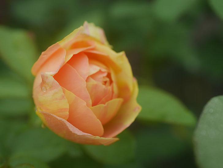 サムズ・アップ(Thumbs Up)の2番花がまた咲いた。半ツルバラ。2020年-005.jpg