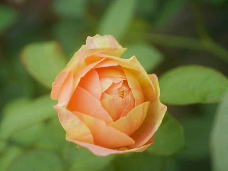 サムズ・アップ(Thumbs Up)の2番花がまた咲いた。半ツルバラ。2020年-006.jpg