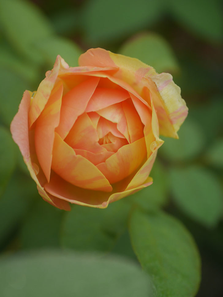 サムズ・アップ(Thumbs Up)の2番花がまた咲いた。半ツルバラ。2020年-007.jpg