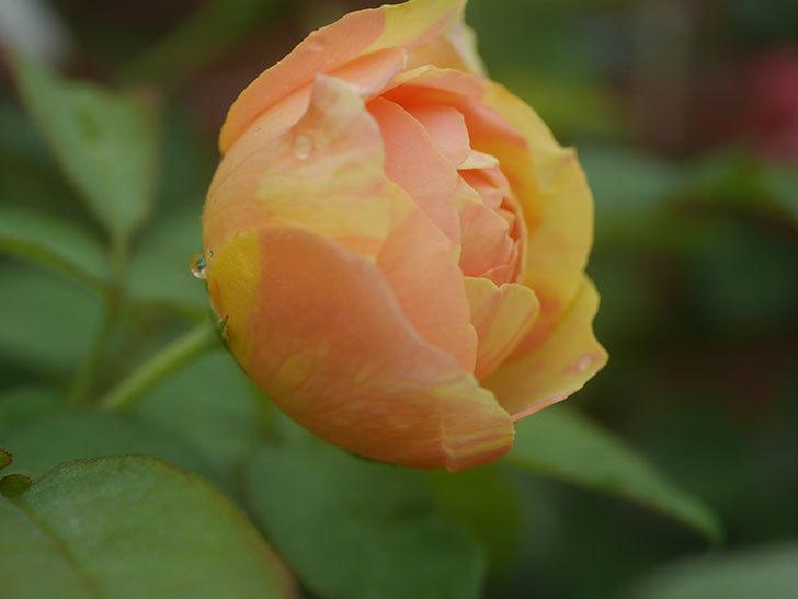 サムズ・アップ(Thumbs Up)の2番花がまた咲いた。半ツルバラ。2020年-008.jpg