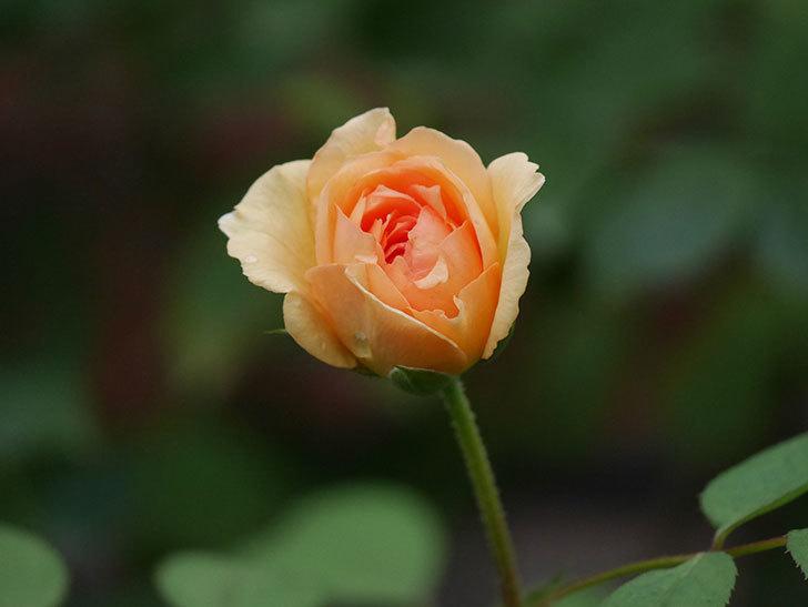 サムズ・アップ(Thumbs Up)の2番花がまた咲いた。半ツルバラ。2020年-009.jpg