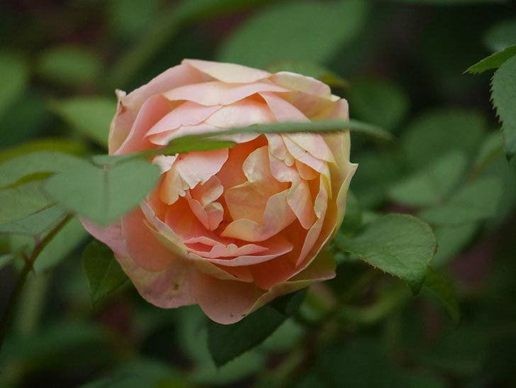 サムズ・アップ(Thumbs Up)の2番花がまた咲いた。半ツルバラ。2020年-011.jpg
