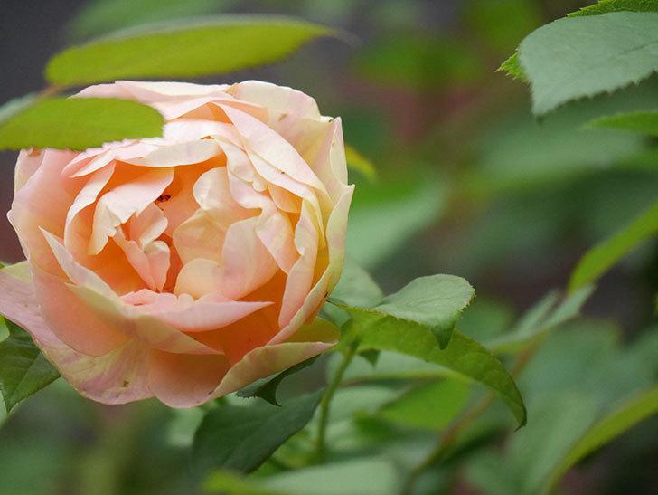 サムズ・アップ(Thumbs Up)の2番花がまた咲いた。半ツルバラ。2020年-012.jpg