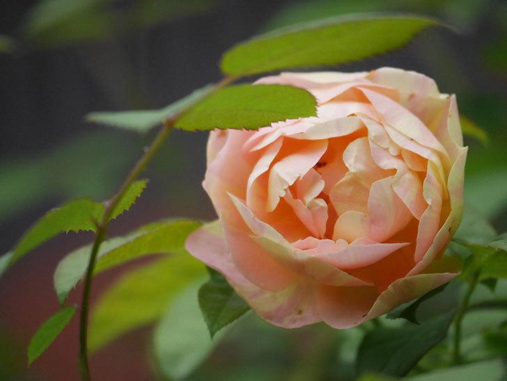 サムズ・アップ(Thumbs Up)の2番花がまた咲いた。半ツルバラ。2020年-013.jpg