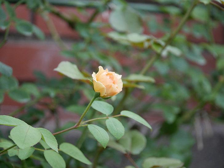 サムズ・アップ(Thumbs Up)の2番花がまた咲いた。半ツルバラ。2020年-015.jpg