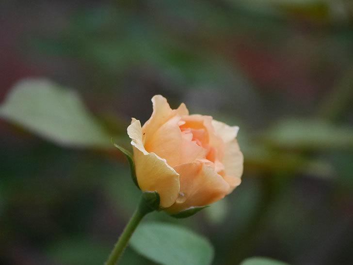 サムズ・アップ(Thumbs Up)の2番花がまた咲いた。半ツルバラ。2020年-016.jpg