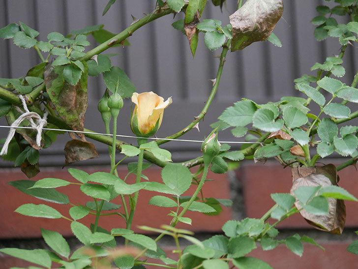 サムズ・アップ(Thumbs Up)の2番花がまた咲いた。半ツルバラ。2020年-018.jpg