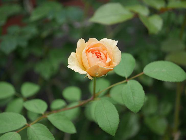 サムズ・アップ(Thumbs Up)の2番花がまた咲いた。半ツルバラ。2020年-019.jpg