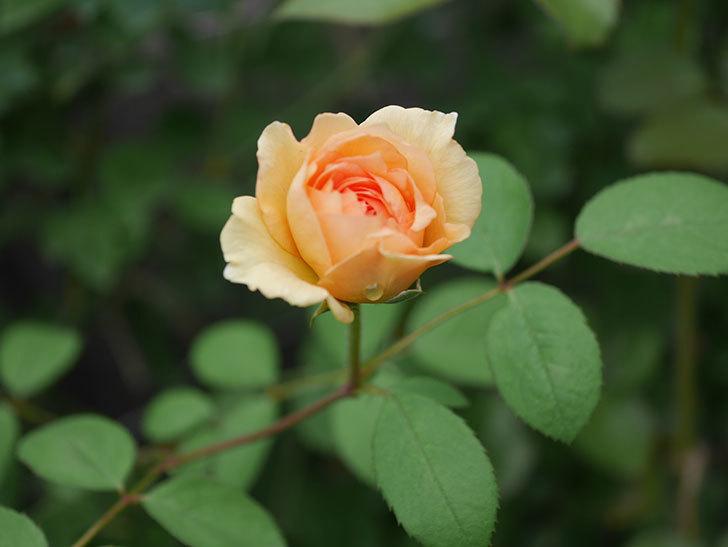 サムズ・アップ(Thumbs Up)の2番花がまた咲いた。半ツルバラ。2020年-020.jpg