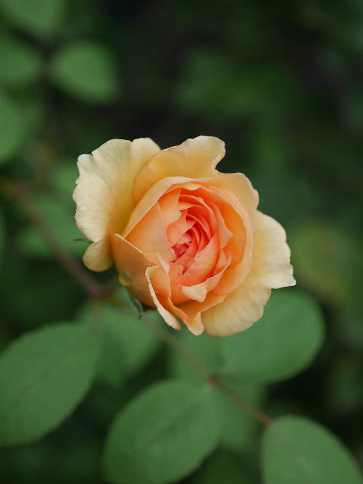 サムズ・アップ(Thumbs Up)の2番花がまた咲いた。半ツルバラ。2020年-021.jpg
